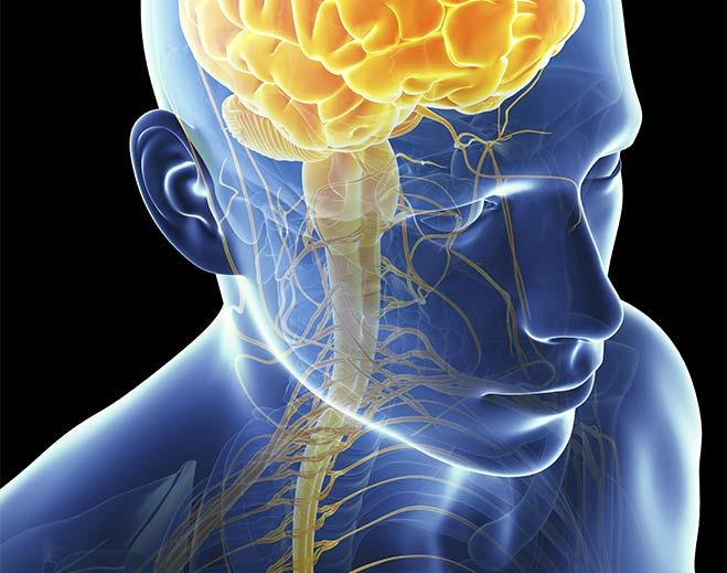 Neurology-Brain-Stem-Medulla-Cranial-Nerves
